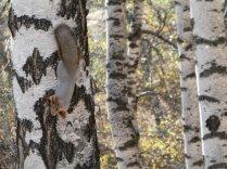 Die Eichhörnchen passen sich an die Birkenfarbe an
