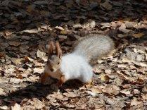 Weisse Eichhörnchen