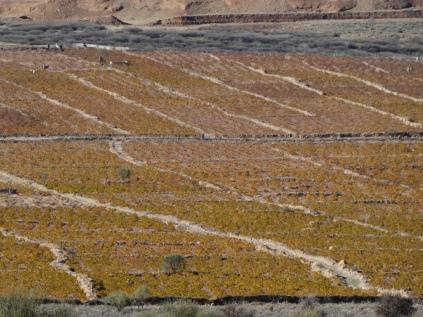 Herbstlich verfärbte Reben