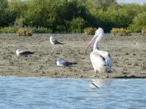 Pelikan im Mangrovenwald