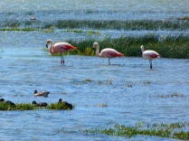 Flamingos in Calafate
