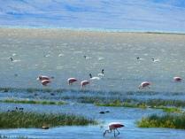 Flamingos in Calafate