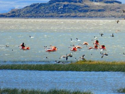 Aufgeschreckte Flamingos