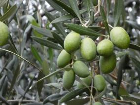 Oliven in Mendoza