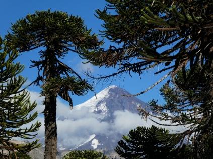 Araukarien und Vulkan Lanin