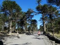 Piste durch den Araukarienwald
