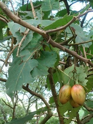 Tamarillo oder Baumtomate