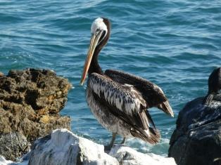 so viele Pelikane hat es hier