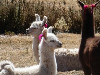 junge Lamas