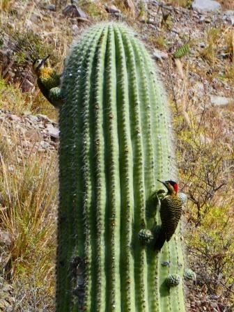 Ein Specht am Kaktus