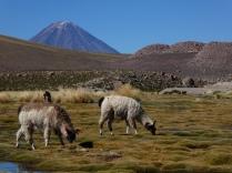 Lamas vor dem Licancabur