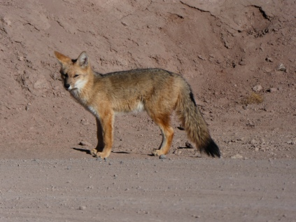 wilder Fuchs