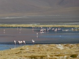 Flamingos in der Laguna Colorada