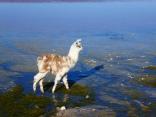 junges Lama an der Laguna Colorada