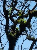 überall Bromelien in den Bäumen