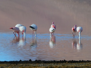 Flamingos auf 3750m